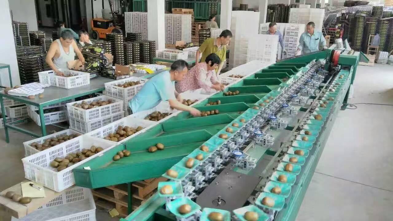 上虞猕猴桃都在用的选果机 分选机价格