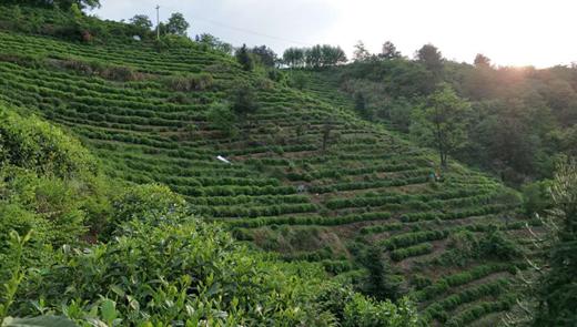 明前茶,贵如金?茶叶机械化推广助力茶业发展